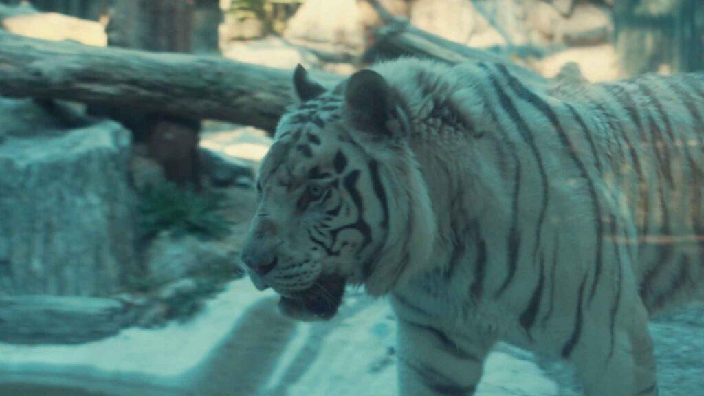 Bily tygr - Liberec